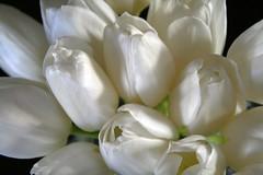White Tulips (Read2me) Tags: flower white spring tulip thechallengefactory pregamewinner challengeyouwinner gamewinner whitenotbw challengegamewinner herowinner superherochallengewinner thumbsupwinner friendlychallenges agcgwinner bigmomma storybookwinner storybookchallengegroupotr achallengeforyou pog many chalengeclubwinner