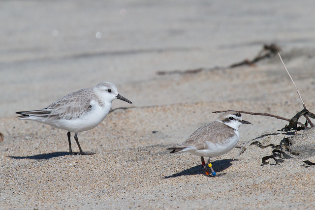 Sanderling and Snowy Plover