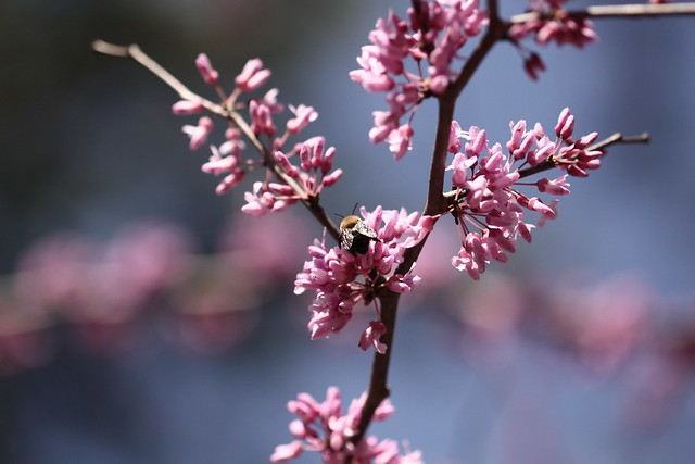 bee and cherry tree