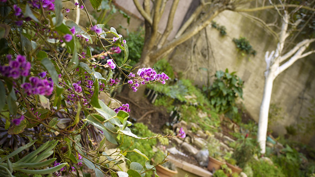 the vine is 'happy wanderer' or, hardenbergia