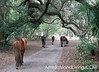 Feral Horses Walk Under Tree Canopy Cumberland Island, Georgia