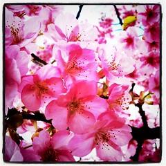 目線に桜の花