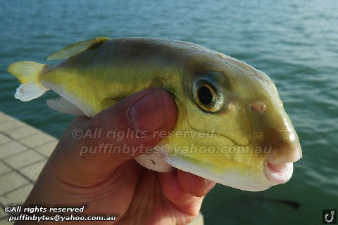 Green Rough-backed Pufferfish - Lagocephalus lunaris