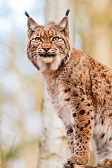 [フリー画像] 動物, 哺乳類, ネコ科, オオヤマネコ/リンクス, 201103051700