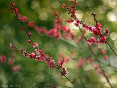twinkle, twinkle, Ume flower.. (Marie Eve K.A. (away..)) Tags: pink red flower green nature japan spring kyoto bokeh twinkle plumtree plumblossoms redplum kitanotenmangshrine