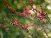 twinkle, twinkle, Ume flower.. (©Marie Eve K.A.❦ (away..)) Tags: pink red flower green nature japan spring kyoto bokeh twinkle plumtree plumblossoms redplum kitanotenmangūshrine