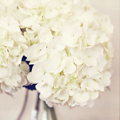 heavenly. (Cate {S.}) Tags: white texture floral focus dof cream hydrangea milky florabella