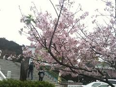 淡水天元宮櫻花 by jackchen40
