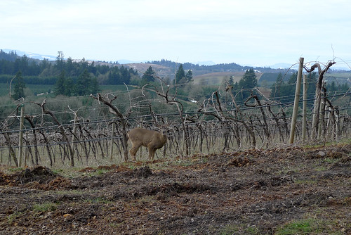 Deer at Willamette Valley Vineyards