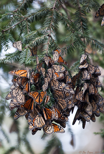 Overwintering Monarch Cluster