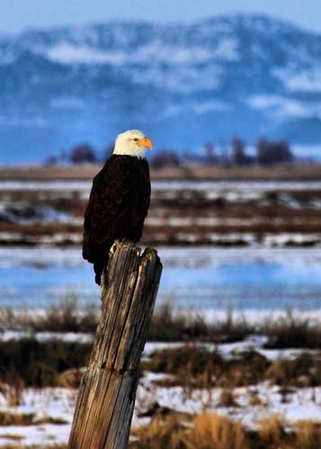 5x7 Bald Eagle IMG_0834