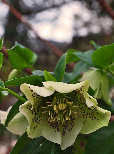 Helleborus orientalis (2)