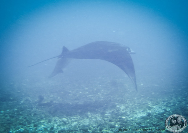 First Oceanic Manta Ray!