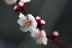 ? ? (Yaoo Sheng Ming) Tags: plum taiwan taichung    plumblossoms   wulingfarm