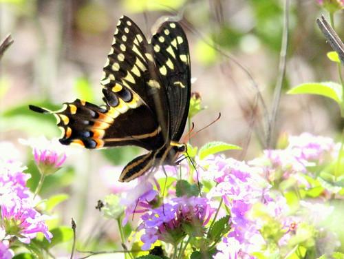 Black Swallowtail 20110313