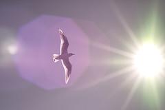 [フリー画像] 動物, 鳥類, カモメ科, カモメ, 日光・太陽光線, 201103180500