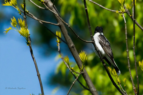 _53F1723 Eastern Kingbird