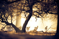 fleeting (andrew evans.) Tags: lighting wood morning trees winter light england sun mist tree nature misty fog fairytale forest sunrise golden countryside kent woods nikon bokeh wildlife deer ethereal rays sunrays wonderland storybook magical f28 enchanted d3 400mm