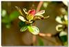 Spring Morning . . . 253/365 (RufusZulu) Tags: morning spring raw southcarolina ♥ kingdavid maxxum5d azaleabud pspx2 corelpaintshopprox2 kycmhts