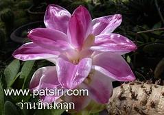 www.patsiri.com from moh jai