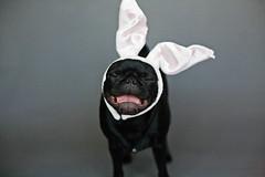 WAAA I don't wanna be the Easter Bunny!! (yoursournotes) Tags: pug teagan easterbunny blackpug easterpug