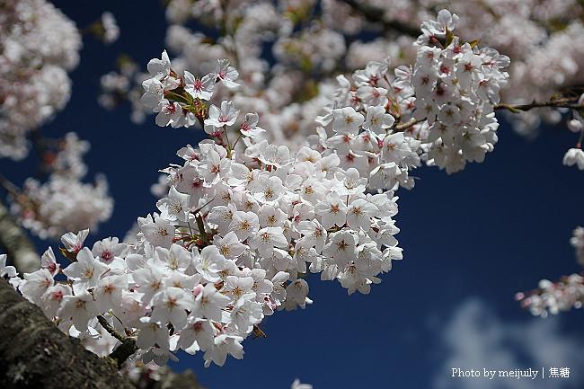 2011阿里山櫻花季晴天版17