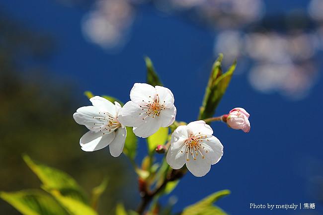 2011阿里山櫻花季晴天版07
