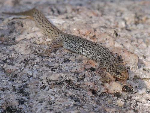 night lizard