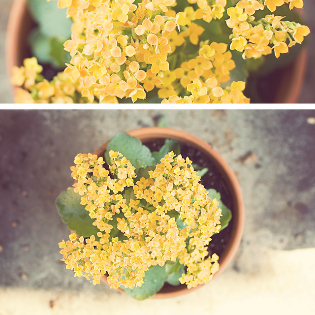 diptych: yellow kalanchoe