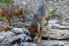 Lobo ibérico - Canis lupus signatus (Mago62) Tags: centrodelloboibérico robledo zamora mago62 mariogomes lobo loboibérico canislupussignatus