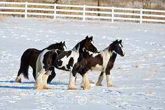 shelleypaulson_2009-196-1 (Shelley Paulson) Tags: equine gallop gypsyvanner horse minnesota snow winter
