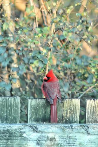 cardinal fence