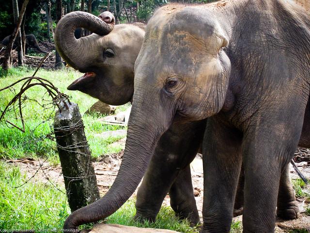 Два слона