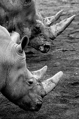 Rhino x 2 (lakesly) Tags: bw dublin animals zoo outdoor rhinoceros 135mm imagespace:hasdirection=false