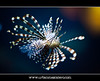 Lionfish (Pterois volitans) (UrbanMescalero) Tags: fish nature denmark aquarium 1001nights lionfish danmark pteroisvolitans saltwaterfish randers randersregnskov pterois volitans slatwater randerstropicalzoo canoneos5dmarkii dragefisk ef70200lf28isusm tripleniceshot mygearandme mygearandmepremium mygearandmebronze mygearandmesilver mygearandmegold mygearandmeplatinum mygearandmediamond