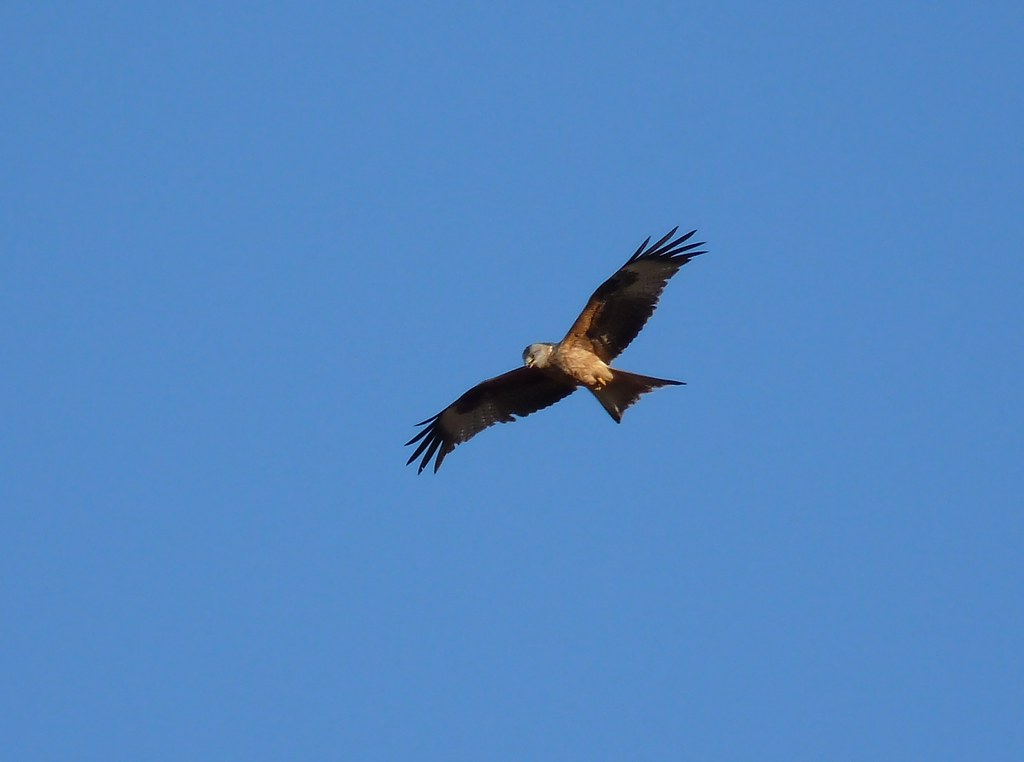 23895 - Red Kite, Rhossili, Gower