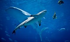 Blacktip Reef Shark (mjkjr) Tags: blue atlanta 35mm ga georgia rebel aquarium shark underwater dof bokeh atl georgiaaquarium whaleshark canondslr f28 bigfish selectivefocus 2011 reefshark 1755mm canonlenses 550d overmyhead t2i clubsi ef1755mmf28isusm 1202011 httpwwwflickrcomphotosmjkjr