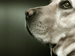 A tale of a wait (dangeri.) Tags: loving labrador drool dee doc gettyimages patience musetto heismylove doggielife miocucciolo heismyangel gettyimagescontributor magicunicornverybest magicunicornmasterpiece myyellowlabrador ldlportraits waitingforasliceofbread