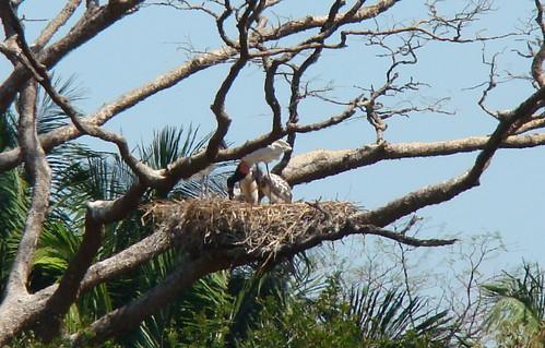 El Viejo Wetlands- Jabirús en nido (Jabiru mycteria)