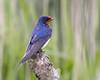 Proud (Andrew Haynes Wildlife Images) Tags: bird nature wildlife norfolk nwt swallow cleymarsh canon7d ajh2008
