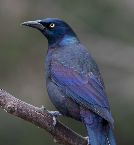 common grackle male. A Common Grackle (Male) in all
