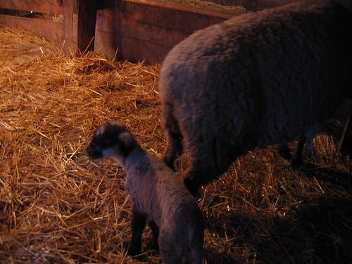 Male Lamb
