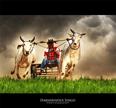 Bullock Cart Racing (Harvarinder Singh) Tags: canon risk bullock punjab daredevil guts daring ludhiana kilaraipur ruralgames bullockcartracing harvarindersinghphotography harvarindersingh kilaraipurminiolympics punjabiruralgames punjabruralgames