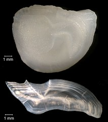 Black Drum Otolith (FWC Research) Tags: fish florida research otolith
