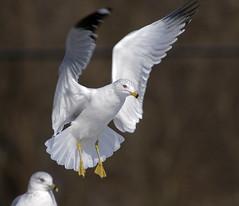 Grace (pheαnix) Tags: moving minolta g seagull sony flight apo 300mm landing tc delaware f4 hs 14x a700 sweetfreedom specanimal beckspond faunainmotion doublyniceshot tripleniceshot mygearandme ringexcellence dblringexcellence tplringexcellence eltringexcellence