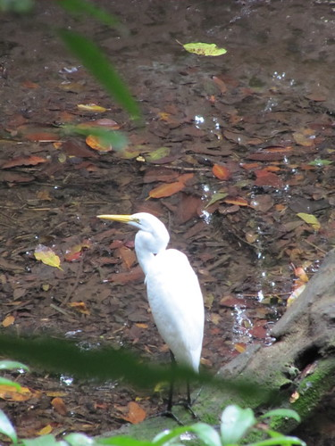 bird birds mexico playadelcarmen aviary egret greategret egrets quintanaroo greatwhiteegret tropicalbirds ardeaalba playacar casmerodiusalbus commonegret playacaraviary aviarioxamanha