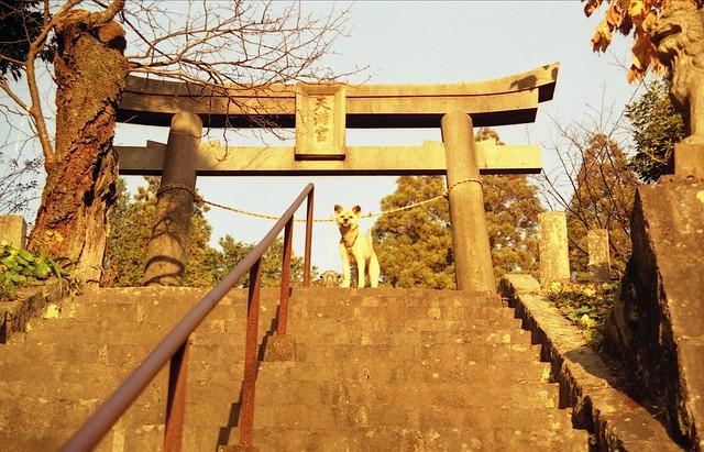鳥居の下の犬のフリー写真素材