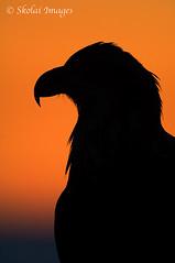 Bald Eagle Portrait (Skolai-Images) Tags: birds alaska portraits baldeagle silhouettes homer eagles raptors haliaeetusleucocephalus verticals kachemakbay carldonohueskolaiimagesphotosnature
