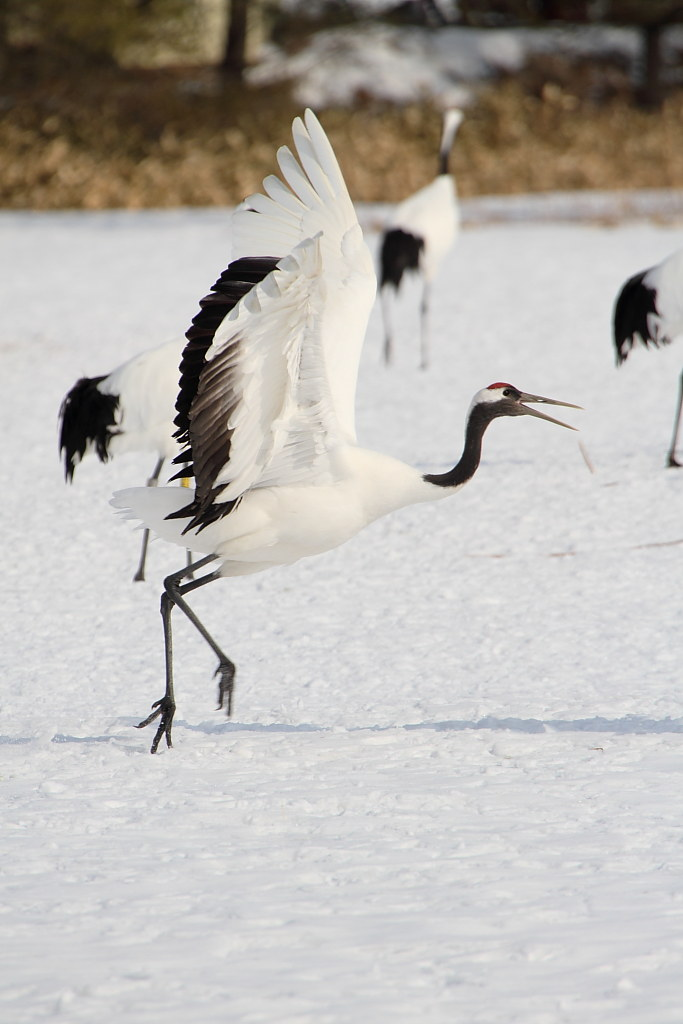 A Japanese crane (Tanchou)
