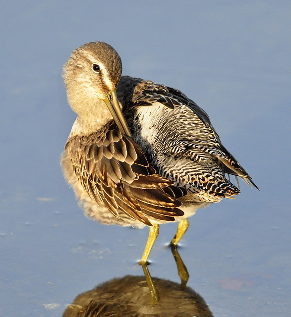 Long-billed Dowitcher preening